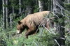 Canada - Lac Louise (PN Banff) - Ours Grizzly