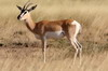 Ethiopie - Parc National d'Awash - Gazelle de Soemmerring