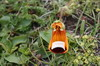 Argentine, Chili - Parc National Torres del Paine - Calceolaria uniflora ou Zapatillo de la Virgen (orchidée)