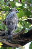 Changeable Hawk-eagle (Nisaetus cirrhatus) - India