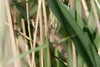 Common Reed-warbler (Acrocephalus scirpaceus) - France