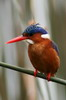 Malachite Kingfisher (Corythornis cristatus) - Ethiopia