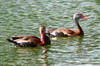 Black-bellied Whistling-duck (Dendrocygna autumnalis) - Mexico