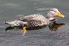 Flying Steamerduck (Tachyeres patachonicus) - Argentina