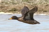 Yellow-billed Teal (Anas flavirostris) - Argentina