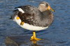 Flying Steamerduck (Tachyeres patachonicus) - Chile