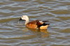 South African Shelduck (Tadorna cana) - South Africa