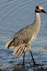 Yellow-crowned Night-heron (Nyctanassa violacea) - Mexico
