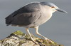 Black-crowned Night-heron (Nycticorax nycticorax) - Argentina