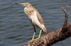 Indian Pond-heron (Ardeola grayii) - Sri Lanka
