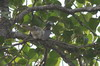 Indian Grey Hornbill (Ocyceros birostris) - India
