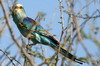 Abyssinian Roller (Coracias abyssinicus) - Ethiopia
