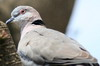 Mourning Collared-dove (Streptopelia decipiens) - Ethiopia