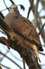 Ruddy Ground-dove (Columbina talpacoti) - Mexico