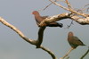 Red-billed Pigeon (Patagioenas flavirostris) - Mexico