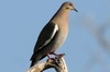 White-winged Dove (Zenaida asiatica) - Mexico