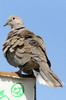 Eurasian Collared-dove (Streptopelia decaocto) - Canary Islands