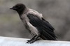 Hooded Crow (Corvus cornix) - Norway
