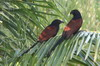 Greater Coucal (Centropus sinensis) - Sri Lanka