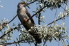 Common Cuckoo (Cuculus canorus) - Romania