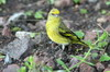 Yellow-crowned Canary (Serinus flavivertex) - Ethiopia