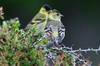 Black-chinned Siskin (Spinus barbatus) - Chile