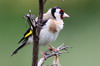 European Goldfinch (Carduelis carduelis) - New Zealand