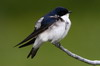 Chilean Swallow (Tachycineta meyeni) - Chile