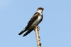 Brown-chested Martin (Progne tapera) - Argentina