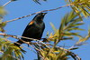 Tawny-shouldered Blackbird (Agelaius humeralis) - Cuba