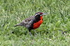 Long-tailed Meadowlark (Leistes loyca) - Chile