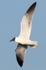 Laughing Gull (Larus atricilla) - Mexico