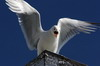 Mew Gull (Larus canus) - Norway