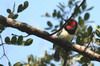 Black-collared Barbet (Lybius torquatus) - Namibia