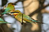 Blue-tailed Bee-eater (Merops philippinus) - Sri Lanka