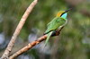 Asian Green Bee-eater (Merops orientalis) - Sri Lanka