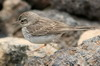 Pipit de Berthelot (Anthus berthelotii) - Iles Canaries