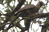 Grey Go-away-bird (Corythaixoides concolor) - Namibia