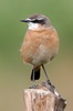 Red-breasted Wheatear (Oenanthe bottae) - Ethiopia