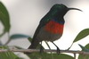 Greater Double-collared Sunbird (Cinnyris afer) - South Africa