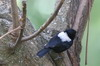 White-backed Black Tit (Melaniparus leuconotus) - Ethiopia