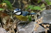 African Blue Tit (Cyanistes teneriffae) - Canary Islands