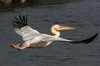 Great White Pelican (Pelecanus onocrotalus) - Romania