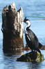 Imperial Shag (Phalacrocorax atriceps) - Chile