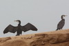 Great Cormorant (Phalacrocorax carbo) - Morocco