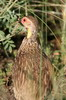 Yellow-necked Francolin (Pternistis leucoscepus) - Ethiopia