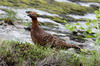 Willow Grouse (Lagopus lagopus) - Norway