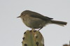Canary Islands Chiffchaff (Phylloscopus canariensis) - Canary Islands
