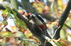 Great Spotted Woodpecker (Dendrocopos major) - France