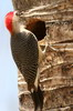 Golden-fronted Woodpecker (Melanerpes aurifrons) - Mexico